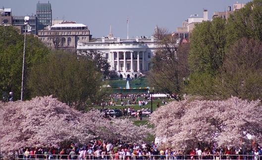 Cherry Blossom White House