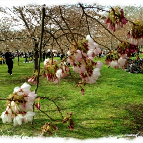 Gorgeous day... but not quite at peak bloom